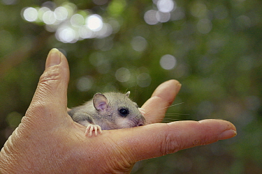 Young Edible, Fat Dormouse (Glis glis) held in a hand during a monitoring project in woodland where this European species has become naturalised, Buckinghamshire, UK, August, Model released  -  Nick Upton/ npl