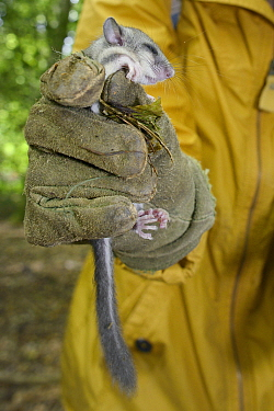 A sleepy young Edible, Fat Dormouse (Glis glis) held in a leather glove, during a monitoring project in woodland where this European species has become naturalised, Buckinghamshire, UK, August, Model...  -  Nick Upton/ npl