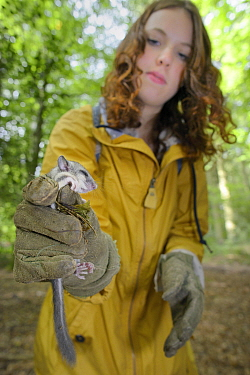 Sally Hyslop holding a sleepy young Edible, Fat Dormouse (Glis glis) in a leather glove, during a monitoring project in woodland where this European species has become naturalised, Buckinghamshire, UK...  -  Nick Upton/ npl