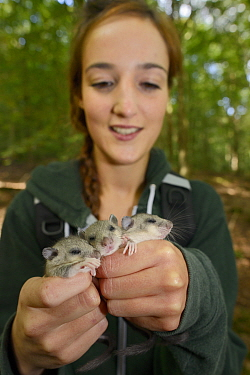 Megan Broad holding three sleepy young Edible, Fat Dormice (Glis glis) during a monitoring project in woodland where this European species has become naturalised, Buckinghamshire, UK, August, Model re...  -  Nick Upton/ npl