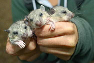 Three sleepy young Edible, Fat Dormice (Glis glis) held in hands during a monitoring project in woodland where this European species has become naturalised, Buckinghamshire, UK, August, Model released  -  Nick Upton/ npl