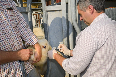 Veterinarian Dewi Jones injecting antibiotics into the ear of a Charolais calf held still in a crush by a farmer, Wiltshire, UK, September 2014 Model released  -  Nick Upton/ npl
