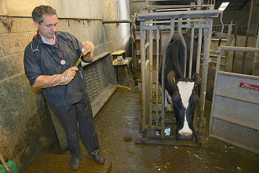 Veterinarian Dewi Jones preparing to inject antibiotics into a sick Holstein Friesian cow (Bos taurus) held in a crush, Gloucestershire, UK, September 2014 Model released  -  Nick Upton/ npl