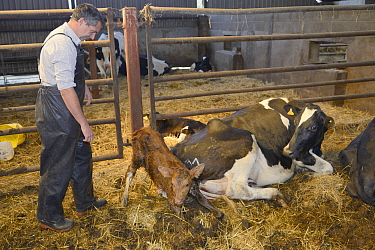 Veterinarian Dewi Jones watching a 30 minute old newborn Holstein Friesian calf (Bos taurus) getting to its feet next to its mother in a barn, Gloucestershire, UK, September 2014 Model released  -  Nick Upton/ npl