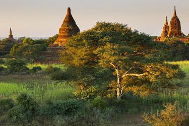 Temples of Bagan in the early morning, Myanmar, November 2012  -  David Noton/ npl