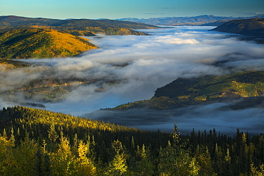 Mist filled valley of the Yukon River at dawn, near Dawson City, Dome Hill, Yukon Territories, Canada, September 2013  -  David Noton/ npl