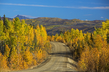 Autumnal Quaking aspen (Populus tremuloides) trees lining the Dempster Highway, Yukon Territories, Canada, September 2013  -  David Noton/ npl