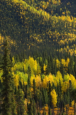 Autumnal forest, with Quaking Apsen (Populus tremuloides) Dome Hill, fringing the Dempster Highway, Yukon Territories, Canada, September 2013  -  David Noton/ npl
