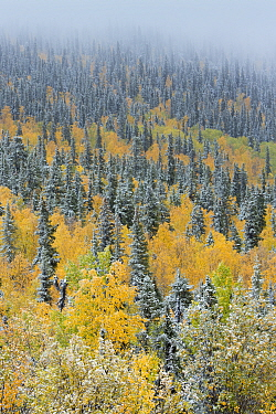 Quaking aspen trees (Populus tremuloides) and conifers with dusting of snow, Dome Hill above Dawson City, Yukon Territories, Canada, September 2013  -  David Noton/ npl