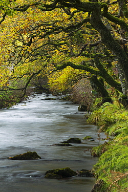 Badgworthy Water, with autumnal trees, Doone Valley, Exmoor National Park, Somerset, England, UK  -  David Noton/ npl