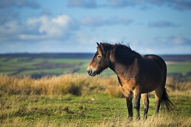 Exmoor pony on Winsford Hill, Exmoor National Park, Somerset, England, UK November 2013  -  David Noton/ npl