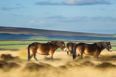 Exmoor ponies on Winsford Hill, Exmoor National Park, Somerset, England, UK November 2013  -  David Noton/ npl
