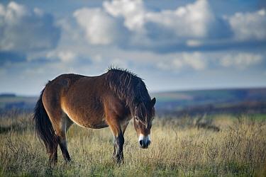Exmoor pony on Winsford Hill, Exmoor National Park, Somerset, England, UK November  -  David Noton/ npl