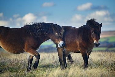 Exmoor ponies on Winsford Hill, Exmoor National Park, Somerset, England, UK November  -  David Noton/ npl