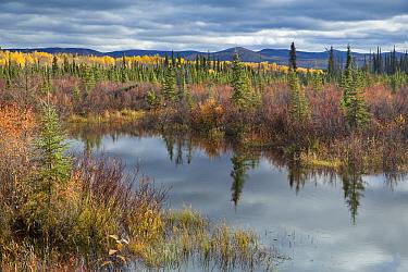 Autumnal boreal forest with lake, Silver Trail, near Mayo, Yukon Territories, Canada, September 2013  -  David Noton/ npl