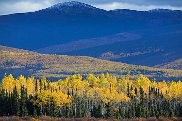 Autumnal Quaking aspen (Populus tremuloides) and pine tree forest, along the Klondike Highway near Moose Creek, Yukon Territories, Canada, September 2013  -  David Noton/ npl