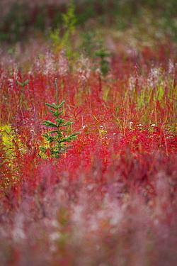 Fireweed (Epilobium angustifolium) foliage in autumn with conifer tree growing amongst them, Kluane National Park, Yukon Territories, Canada, September  -  David Noton/ npl