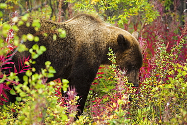 Juvenile Grizzly bear (Ursus arctos horribilis) foraging among fireweed, Kluane National Park, Yukon Territories, Canada, September  -  David Noton/ npl