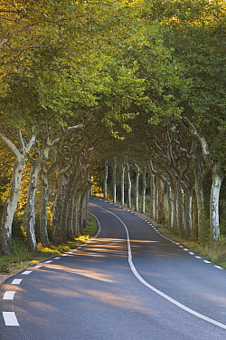 Avenue of Plane trees (Platanus) on a road near Soreze, Tarn, Languedoc, France, September 2012  -  David Noton/ npl