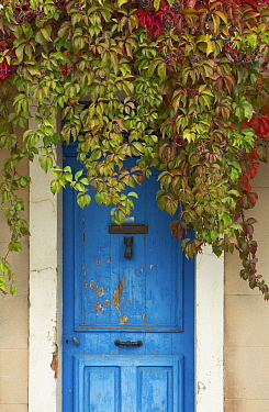 Blue doorway with Grape vines (Vitis) Puyloubier, Var, Provence, France, October 2012  -  David Noton/ npl