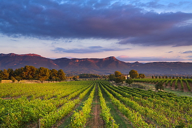 Vineyard near Puyloubier, with the Massif de la Ste Baume at dusk, Var, Provence, France, October 2012  -  David Noton/ npl