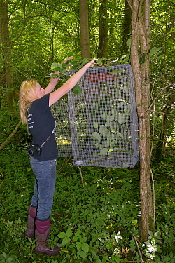 Lorna Griffiths of Nottinghamshire Wildlife Trust providing young Hazel branches (Corylus avellana) as food and cover for a Hazel dormouse (Muscardinus avellanarius) soft release cage before the nest...  -  Nick Upton/ npl