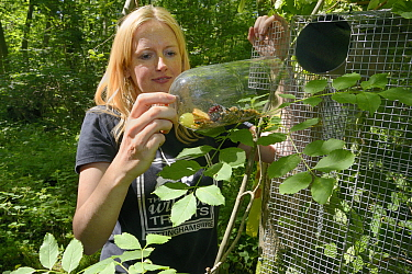 Lorna Griffiths of Nottinghamshire Wildlife Trust inserting a feeding tube loaded with fresh fruit and seeds into a Hazel dormouse (Muscardinus avellanarius) soft release cage before the nest boxes ar...  -  Nick Upton/ npl