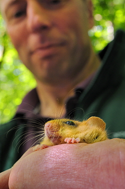 Ian White, Dormouse officer for the Peoples Trust for Endangered species holding a Hazel dormouse (Muscardinus avellanarius), Nottinghamshire, UK, June Model released  -  Nick Upton/ npl