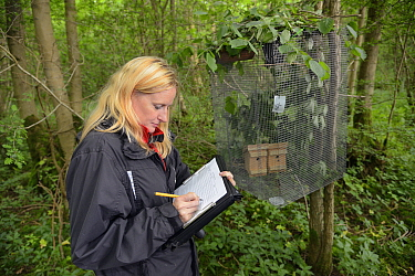 Lorna Griffiths of Nottinghamshire Wildlife Trust recording details of the Hazel dormice (Muscardinus avellanarius) that have been introduced to a soft release cage in nest boxes within an ancient cop...  -  Nick Upton/ npl