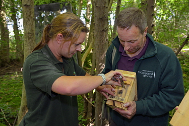 Clare Stalford of the Wildwood Trust removing wire mesh from the entrance hole of a nest box containing a pair of Hazel dormice (Muscardinus avellanarius), held by Ian White, Dormouse officer for the...  -  Nick Upton/ npl