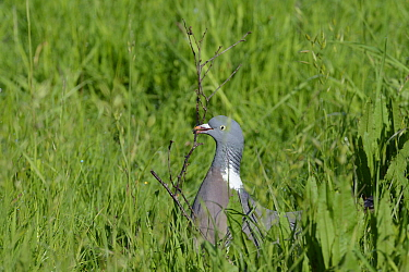 Wood pigeon (Columba palumbus) collecting a twig for its nest, Gloucestershire, UK, May  -  Nick Upton/ npl