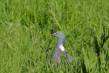 Wood pigeon (Columba palumbus) collecting a twig for its nest, Gloucestershire, UK, May  -  Nick Upton/ npl