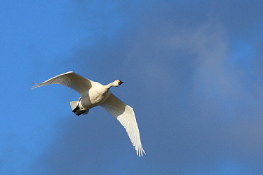 Bewicks swan (Cygnus bewickii) in flight, Gloucestershire, UK, February  -  Nick Upton/ npl