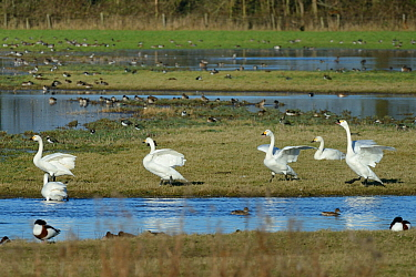 Bewicks swans (Cygnus bewickii) displaying and calling on flooded pastureland, Gloucestershire, UK, January  -  Nick Upton/ npl