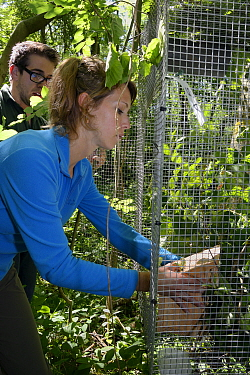 Volunteer Zoe Phillips placing a nest box with a pair of Hazel dormice (Muscardinus avellanarius) and an empty box inside a soft release cage attached to a tree in coppiced ancient woodland, Nottingha...  -  Nick Upton/ npl