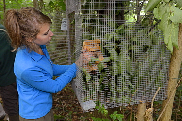 Volunteer Zoe Phillips placing a nest box with a Hazel dormouse (Muscardinus avellanarius) inside into a soft release cage attached to a tree in coppiced ancient woodland, Nottinghamshire, UK, June Mo...  -  Nick Upton/ npl