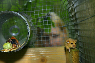 Lorna Griffiths of Nottinghamshire Wildlife Trust watching a Hazel dormouse (Muscardinus avellanarius) exploring a soft release cage Nottinghamshire, UK, June Model released  -  Nick Upton/ npl
