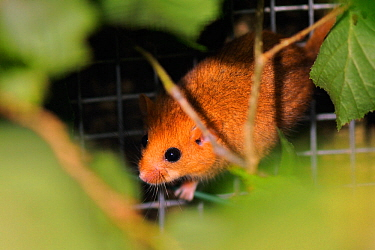 Hazel dormouse (Muscardinus avellanarius) exploring among Hazel branches within a soft release cage, Nottinghamshire, UK, June  -  Nick Upton/ npl