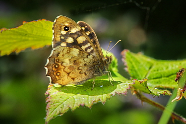Speckled Wood butterfly (Pararge aegeria)  -  Gary K. Smith/ npl