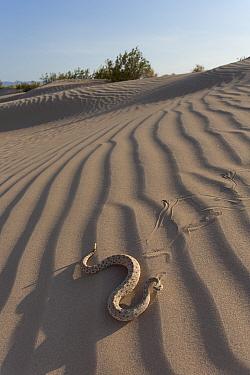 Sidewinder (Crotalus cerstastes) in sand dunes, Anza-Borrego Desert, California, USA, May  -  Chris Mattison/ npl