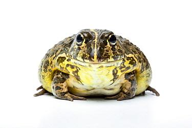 South African Dwarf Bullfrog (Pyxicephalus edulis) native to Southern Africa  -  Chris Mattison/ npl
