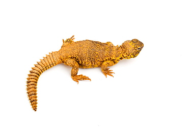 Saharan or Geyrs dab lizard (Uromastyx geyri) on white background, captive from Algeria, Mali and Niger  -  Chris Mattison/ npl