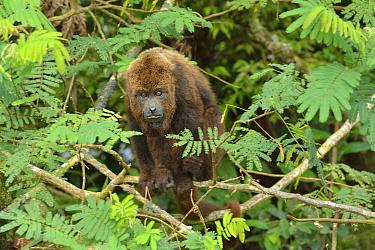 Northern Brown Howler monkey (Alouatta guariba guariba), lowland Atlantic Rainforest of Southern Bahia, Southern Bahia State, Eastern Brazil Endangered species  -  Luiz Claudio Marigo/ npl