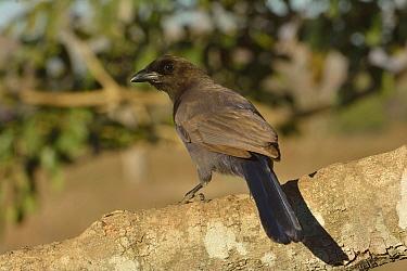Purplish Jay (Cyanocorax cyanomelas) Pantanal, Mato Grosso, Mato Grosso State, Western Brazil  -  Luiz Claudio Marigo/ npl