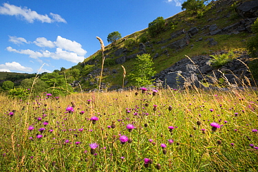 Common, Black Knapweed (Centaurea nigra) growing in disused limestone quarry Peak District National Park, Derbyshire, UK August  -  Alex Hyde/ npl