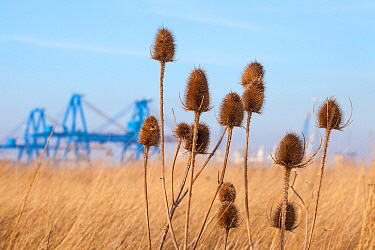 Teasels (Dipsacus fullonum) growing on a brownfield site Kingston upon Hull, East Yorkshire, England, UK, January 2014  -  Alex Hyde/ npl