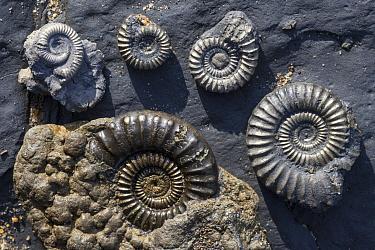 Iron pyrite fossil ammomites found in blue lias deposits, Charmouth, along the Jurassic Coast, Dorset, UK  -  Alex Hyde/ npl