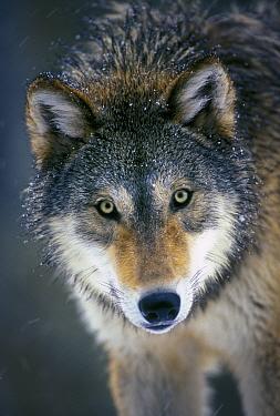 Grey wolf (Canis lupus) captive from Washington Range  -  Michael Durham/ npl