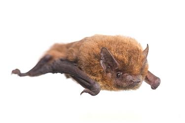 Nathusius pipistrelle (Pipistrellus nathusii) The Netherlands, May Meetyourneighboursnet project  -  MYN/ Paul van Hoof/ npl