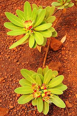 Plant (Xanthostemon auriantalun) Parc Provincial de la Rivi?re Bleue, Blue River Provincial Park, New Caledonia Endemic  -  Enrique Lopez Tapia/ npl